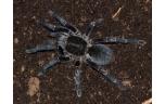 Haplopelma Vonwirthi / Blacvk Spider, S