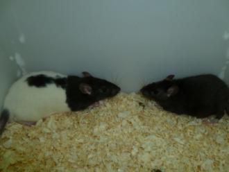 Levende rat, groot, 130-170 gr