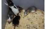 Levende rat, klein, ongeveer 50 gr
