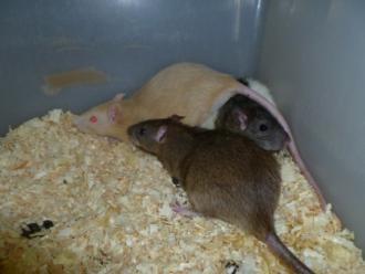 Levende rat, middel, ongeveer 80 gr