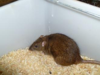 Levende rat, volwassen