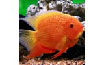 Heros severus red spotted 8 cm