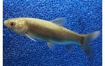 Ctenophar. idella Graskarper 10-112