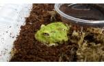 Ceratophrys cranwelli groen S