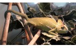 Chamaeleo calyptratus, Jemen-kameleon, S