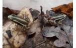 Epipedobates tricolor  gifkikker