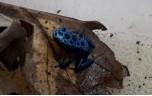 Dendrobates tinctorius (azureus), Blauwe pijlgifkikker