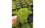 Micranthemum monte carlo op stalen net