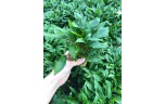 Cryptocoryne wendtii green gecko