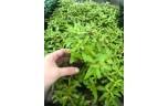 Nesaea Pedicellata Golden Pot