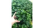 Anubias nana thick leaf