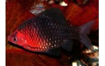 Barbus nigrofasciatus   Purperkop L