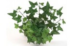 EuroZoo, English Ivy Bush, 68 bladeren